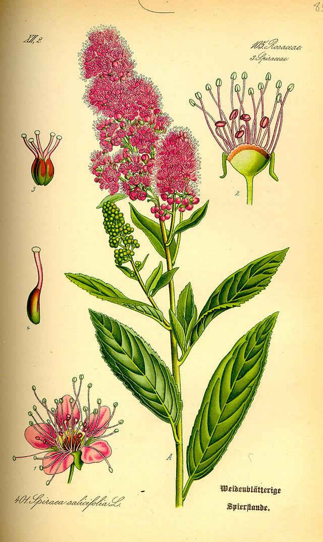 planche botanique dela spirée à feuille de saule