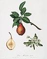 Illustration from Pomona Italiana Giorgio Gallesio by rawpixel00027.jpg