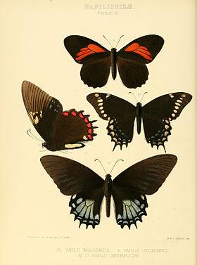 Illustrations of new species of exotic butterflies Papilio X.jpg