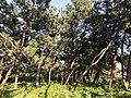 Imazu Pine Grove 1.jpg