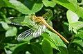 Immature male Common Darter. Sympetrum striolatum (44108744991).jpg