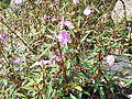 Impatiens balsamina-plant-yercaud-salem-India.JPG