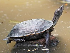 Indian Black Turtle.jpg