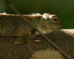 Indian Garden Lizard (Calotes versicolor) W IMG 1259.jpg