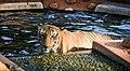Indian Tiger Mysore Zoo.jpg