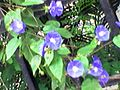 Indigo flowers ona vine.jpg