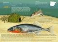 Infografia pez espinoso.pdf
