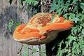 Inonotus hispidus, Shaggy Bracket, Enfield, UK.jpg