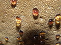 Inonotus hispidus R.H. 14.jpg