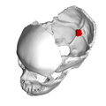 Internal occipital protuberance2.png