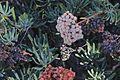 J20151119-0023—Eriogonum arborescens—RPBG (23226243445).jpg