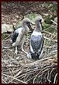 Jabaroo Chicks-1and (4198372758).jpg