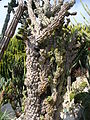 Jardin de Monaco 26 — Cereus hildmannianus subsp. uruguayanus.jpg