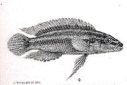 Julidochromis ornatus.jpg