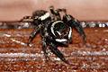 Jumping Spider (Hasarius adansoni) male (23729984590).jpg