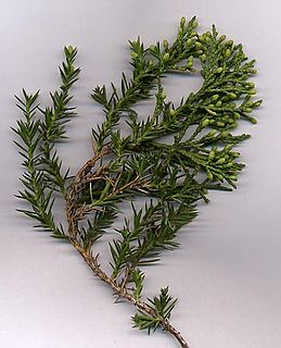 <i>Juniperus chinensis</i> species of plant