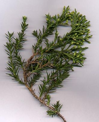 Juniperus chinensis - Chinese juniper shoot, showing juvenile (needle-like) leaves, adult scale leaves, and young male cones