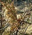 Juniperus maritima Anacortes5.jpg