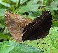 Junonia iphita - Chocolate pansy mating 05.JPG