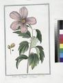 Ketmia Syrorum, flore purpureo violaceo - Ketmia - Ketmie. (Rose of Sharon) (NYPL b14444147-1124982).tiff
