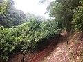 Kiiji, through mandarin plantation 01.jpg