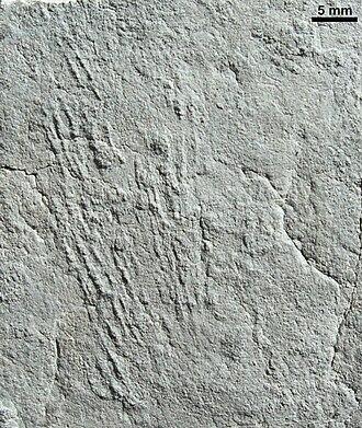 Kimberella - Kimberichnus teruzzii, grazing traces of Kimberella