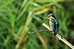 Kingfisher - RSPB Fowlmere (19970304993).jpg
