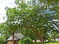 Knob Fig Tree (Ficus sansibarica) (11498756485).jpg