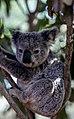 Koala-bear-sunlight (Unsplash).jpg