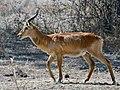 Kobus vardonii (male).jpg