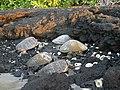 Kohala Beach sleepers - panoramio.jpg