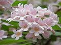 Kolkwitzia amabilis1.jpg