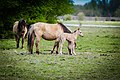 Konik Family with young foal (17200058052).jpg