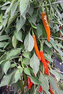 Cheongyang chili pepper - WikiVisually