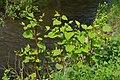 Korina 2013-05-16 Fallopia japonica.jpg