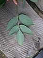 Korina 2015-09-01 Staphylea pinnata 5.jpg