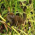 Lac Alaotra Gentle Lemur (Hapalemur alaotrensis) - panoramio.jpg