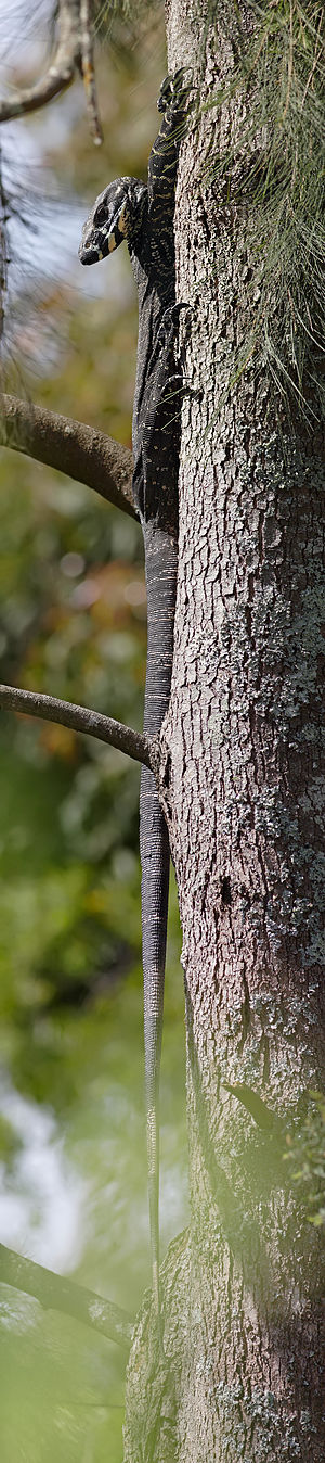 Lace monitor full length.jpg