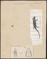 Lacerta stirpium - 1700-1880 - Print - Iconographia Zoologica - Special Collections University of Amsterdam - UBA01 IZ11400221.tif