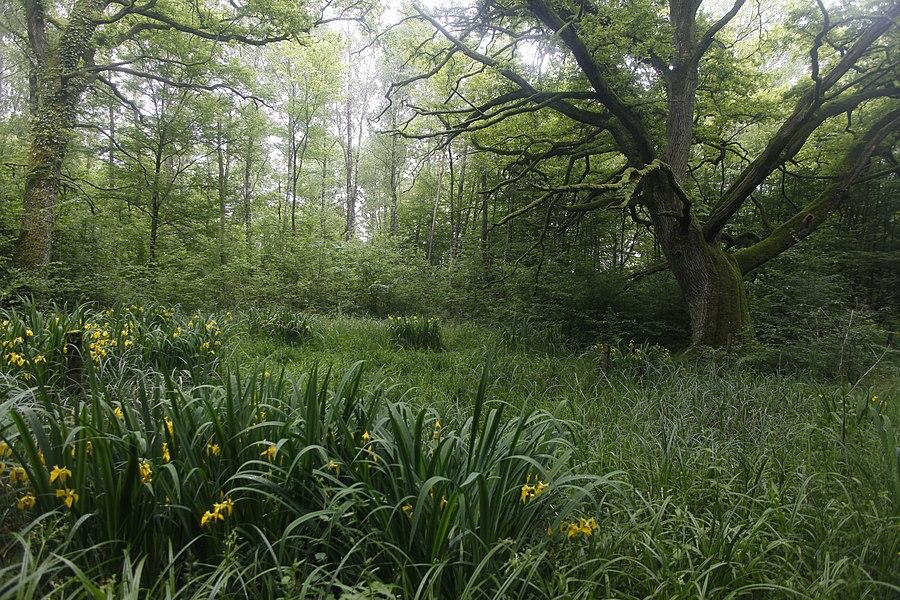 Chênes et iris jaune à Lachaussée