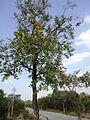 Lagerstroemia parviflora tree.JPG
