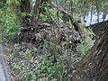Lahn-Uferbiotop mit Stockenten auf umgestürztem Baum, Marburg am Lahntalradweg 2017-04-23.jpg