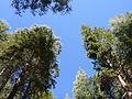 Lair trees.JPG