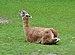 Lama guanicoe qtl1.jpg