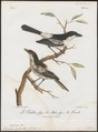 Laniarius cubla - 1796-1808 - Print - Iconographia Zoologica - Special Collections University of Amsterdam - UBA01 IZ16600475.tif