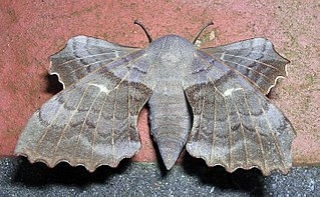 Smerinthini Tribe of moths
