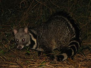 Large Indian civet - Large Indian civet on the ground by night in Namdapha Tiger Reserve, India