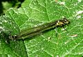 Large Red-eye. Erythromma najas, Immature female. - Flickr - gailhampshire.jpg