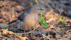 Large grey babbler at IIT Delhi.jpg