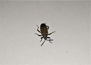 <i>Largus californicus</i> Species of true bug